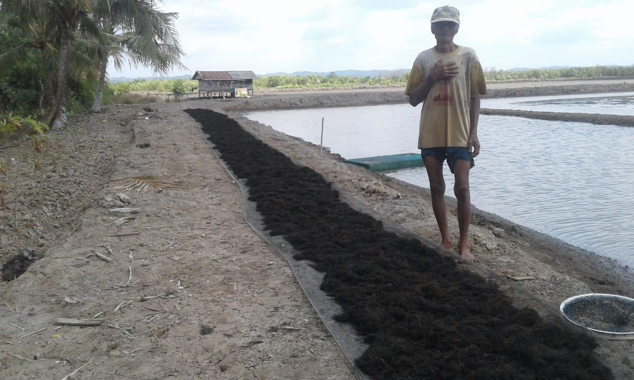 Gracilaria di Manfaatkan Petambak Labangka dan Babulu Laut Demi Tingkatkan Pendapatan
